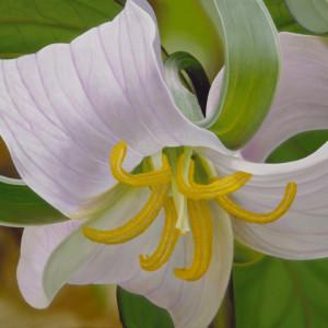 Catesbys Trillium